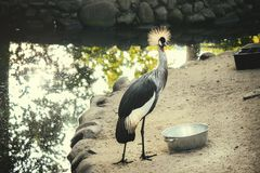 Gru incoronata al giardino zoologico fotografia stock