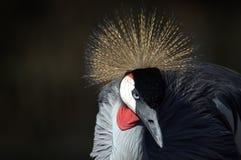 Gru incoronata al santuario di uccello di Austin Roberts Fotografia Stock