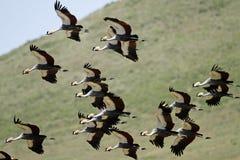 Gru incoronate del sud grige volanti Fotografia Stock Libera da Diritti