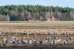 Gru nel lago Hornborga in Svezia Fotografia Stock Libera da Diritti