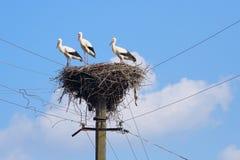Gru nel nido Fotografia Stock