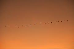 Gru ordinate che volano nella formazione Fotografie Stock