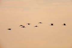 Gru ordinate che volano nella formazione Fotografia Stock Libera da Diritti
