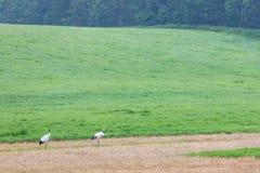 Gru selvagge a Kushiro, Hokkaido Fotografie Stock Libere da Diritti