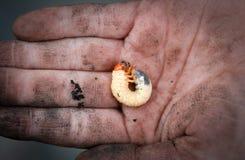 Beetle grub on dirty human hand. |Grub beetle larvae twisted on a dirty human palm stock photo
