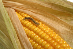 Grub on corn maize. A grub on a maize cob Royalty Free Stock Image