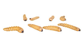 Grub worm Stock Photo