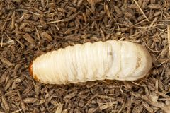 Grub worms, Coconut rhinoceros beetle. Oryctes rhinoceros, Larva on soil background royalty free stock image