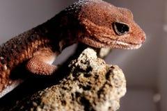 Gruba Ogoniasta jaszczurka Zdjęcie Stock