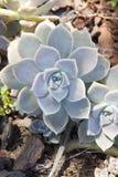 Gruba pustynna roślina Zdjęcie Stock