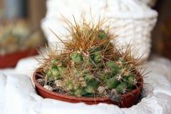 gruba roślina Obraz Royalty Free