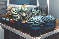 Grubas i inni sukulenty w garnkach na stojakach w składowym pokoju Reprodukcja rośliny zdjęcia stock