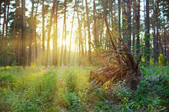 Grubbed stump in pine forest on sunrise Stock Photography