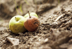 Grubby apples on the ground Royalty Free Stock Photography