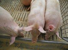 grube świnie i lochy jedzą w bydlęciu gospodarstwo rolne zdjęcie stock