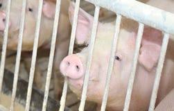 Grube świnie w sty na gospodarstwie rolnym zdjęcia royalty free