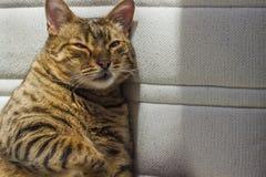 Grubej pomarańcze pasiasty kot z zielonymi oczami Obraz Royalty Free