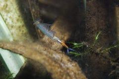 Grubii de Eubranchipus do camarão feericamente Fotos de Stock Royalty Free