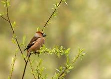 Grubodziób siedzi na cienkiej gałąź (Coccothraustes coccothraustes) fotografia stock