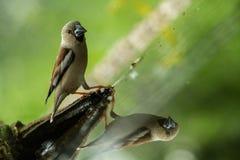 Grubodzioba obsiadanie na liszaju brzeg wodny staw w lesie z pięknym bokeh i kwiaty w tle, Niemcy, ptak odbijający zdjęcia royalty free