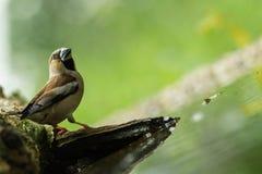 Grubodzioba obsiadanie na liszaju brzeg wodny staw w lesie z pięknym bokeh i kwiaty w tle, Niemcy, ptak odbijający fotografia royalty free