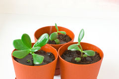 Grubosz & x28; pieniądze tree& x29; w garnku Podlewań houseplants Obraz Royalty Free