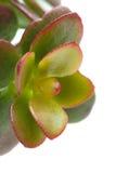 Grubosz roślina Zdjęcia Royalty Free