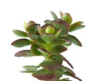 Grubosz roślina Zdjęcie Stock