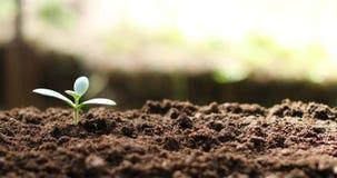 Grubosz rośliny pieniądze drzewny dorośnięcie w ziemi zbiory wideo