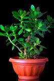 Grubosza ovata lub pieniądze rośliny drzewny tłustoszowaty zbliżenie na czarnym tle Zdjęcia Royalty Free