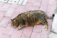 Gruby gnuśny kot zdjęcia royalty free