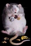 gruby szczur Obrazy Stock
