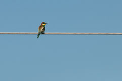 Gruccione (Merops Apiaster) che guarda alla destra Fotografia Stock
