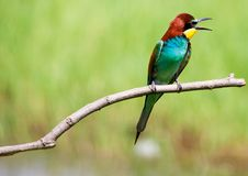 Gruccione-uccello fotografato alles 'Di Isola di Cona staranzano Gorizia stockbilder