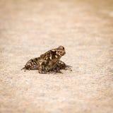 Gruczołowata żaba Fotografia Stock