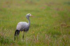 Grue bleue se tenant dans la prairie Image libre de droits