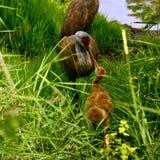 Grue commune et grue nouveau-née de bébé Photo libre de droits