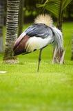 Grue couronnée à l'est africaine Image libre de droits