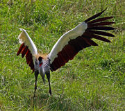 Grue couronnée africaine image libre de droits