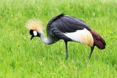 Grue couronnée en Safari Wold Image libre de droits