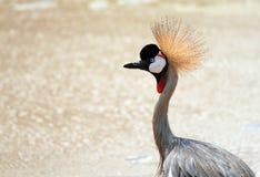 Grue couronnée grise ( Photographie stock libre de droits