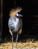 Grue couronnée noire, pavonina de Balearica dans le zoo photo stock