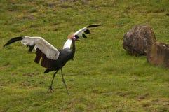 Grue couronnée par Africain Photographie stock