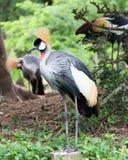 Grue couronnée se tenant en Safari Wold Images libres de droits