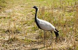 Grue de Demoiselle parmi la vue de côté d'herbe sèche Photo libre de droits