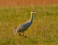 Grue de Sandhill Photo stock