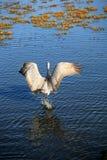 Grue de Sandhill dans le fleuve Photo stock