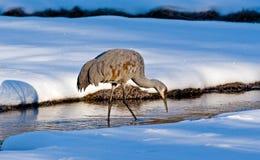 Grue de Sandhill en hiver Photographie stock libre de droits
