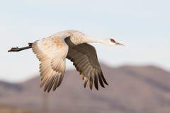 Grue de Sandhill en vol avec le ciel bleu photographie stock