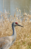 Grue de Sandhill sur le lac photo stock